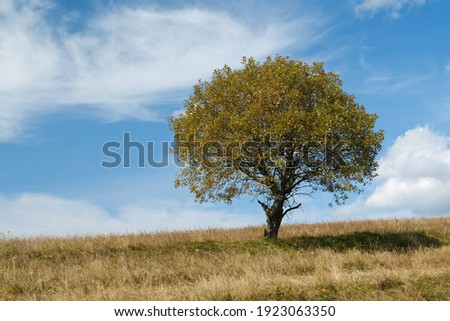 Lonely autumn yellow tree on grassland and white clouds in beautiful Carpathian Mountains Royalty-Free Stock Photo #1923063350