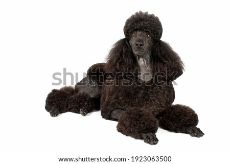 royal black poodle isolated on white background Royalty-Free Stock Photo #1923063500