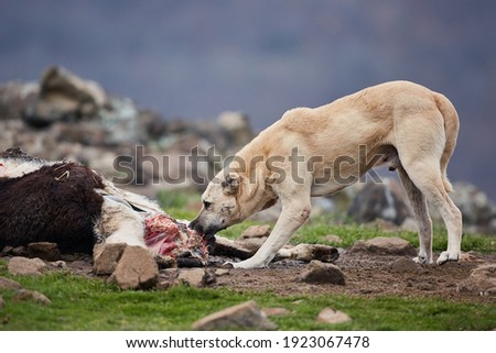 An aggressive, free-ranging dog eats caught by a farm animal. Dangerous stray animal. A big bad dog tears meat. Royalty-Free Stock Photo #1923067478
