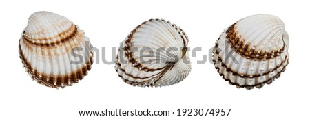 Beautiful sea shells of common cockle isolated on a white background. Cerastoderma edule. Three decorative ribbed oval seashells of edible saltwater clams. Empty exoskeleton of marine bivalve mollusk. Royalty-Free Stock Photo #1923074957
