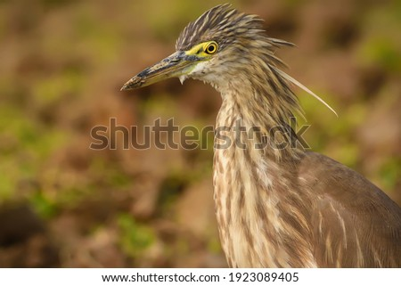 Indian pond heron which is common bird in Asian subcontinent. I captured this picture behind our Home. Surely this is a common bird but I like that becouse the the composer.
