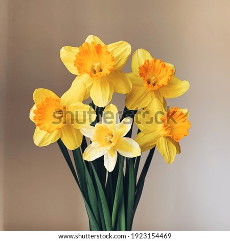 Beautiful bouquet of fresh yellow daffodil flowers in full bloom in vase against white background, close up. Space for text. Spring blossoms. Still life with bunch of narcissuses. Royalty-Free Stock Photo #1923154469