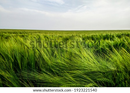 Barley field at spring sunset. Organic growth concept. Beautiful agriculture background. Royalty-Free Stock Photo #1923221540