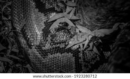 Beautiful black and white picture of a large boa