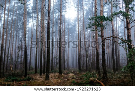 Forest mist trees background. Misty forest trees. Forest in mist. Forest mist background Royalty-Free Stock Photo #1923291623