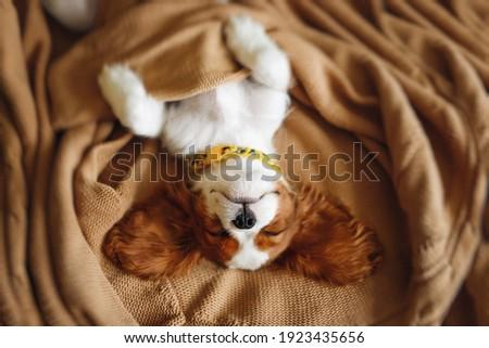 Funny Sleeping Cavalier King Charles Spaniel Puppy Face Royalty-Free Stock Photo #1923435656