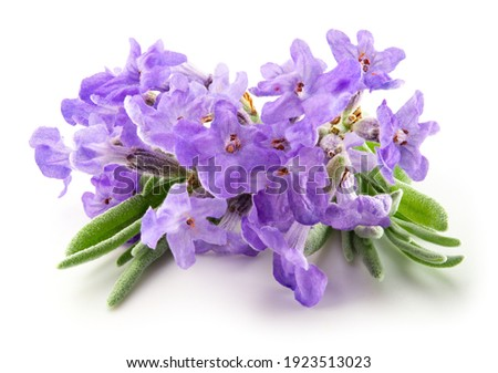 Lavender flowers isolated. Bunch of lavender flowers isolated over white background. Full depth of field. Royalty-Free Stock Photo #1923513023