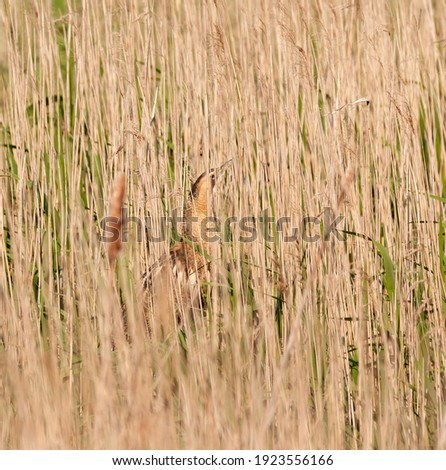 Camouflaged bittern in the reeds. Royalty-Free Stock Photo #1923556166