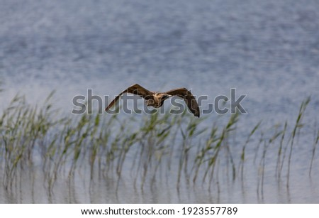Bittern in flight coming towards you just above the reeds. Royalty-Free Stock Photo #1923557789