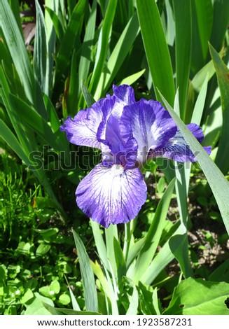 "White with dark violet markings Dwarf Bearded Iris (Iris germanica) ""Twink"" blooms in the garden in June."