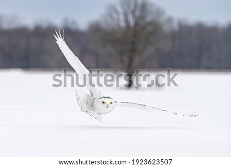 Snowy owl (Bubo scandiacus) female  isolated on white background hunting over an open snowy field in Ottawa, Canada Royalty-Free Stock Photo #1923623507