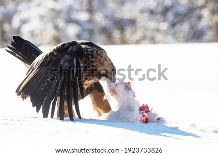 Majestic predator Golden eagle, Aquila chrysaetos, feeding on a Mountain hare carcass during a cold and harsh winter day near Kuusamo, Northern Finland.	 Royalty-Free Stock Photo #1923733826