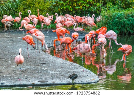 Flock of pink American flamingos (Phoenicopterus ruber) (also known as Caribbean Flamingo) in a garden Royalty-Free Stock Photo #1923754862