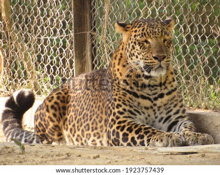 picture of the leopard in the zoo