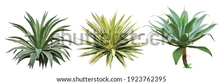 Set of Agave Plants Isolated on White Background with Clipping Path Royalty-Free Stock Photo #1923762395
