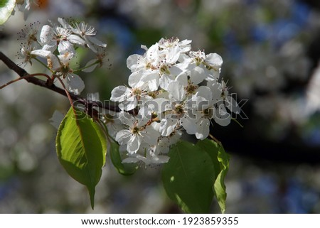 Close-up selective focus full frame view of a branch with white blossoms of an evergreen pear blossom tree Royalty-Free Stock Photo #1923859355
