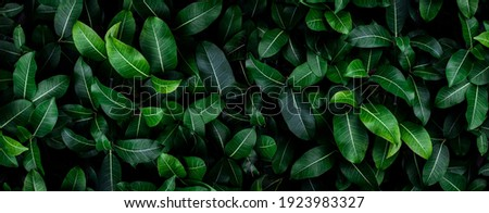 Closeup green leaves background, Overlay fresh leaf pattern, Natural foliage textured and background Royalty-Free Stock Photo #1923983327