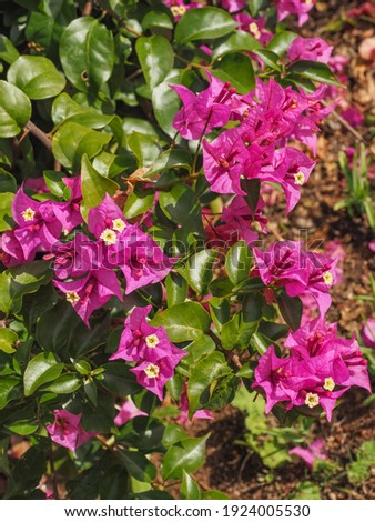 Bougainvillea spectabilis, glabra or buttiana known as great bougainvillea. Flowering plant in the family Nyctaginaceae. Evergreen Paperflower is ornamental plant, woody vine shrub with pink flowers. Royalty-Free Stock Photo #1924005530
