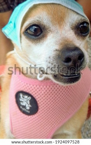 A picture of a chihuahua wearing a mask outside.