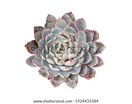 Miniature succulent plants (succulent cactus) isolated on white Royalty-Free Stock Photo #1924433384