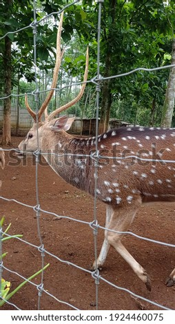 male roe deer horn in zoo park photo image picture
