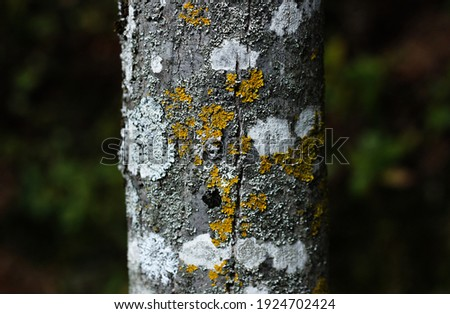 the trunk of a tree, covered with multi-colored spots, including orange, white and gray, covered with moss, standing against a background of a green forest  Royalty-Free Stock Photo #1924702424