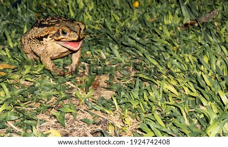 Toad hunting - Open mouth. Duttaphrynus melanostictus is called Asian common toad, Asian black-spined, black-spectacled, common Sunda, Javanese toad. In the garden on the brazilian grass. Night.