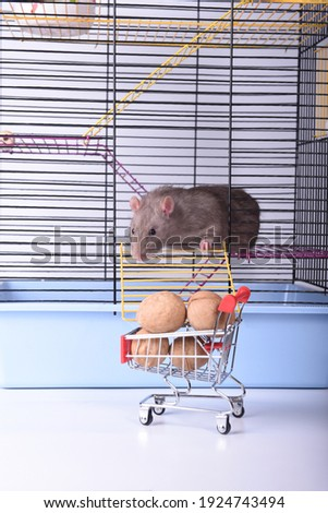 Brown wild rat gets out of the cage for walnuts
