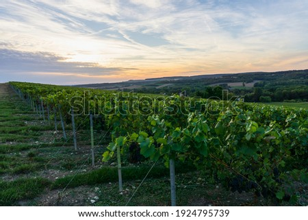 Row vine grape in champagne vineyards at montagne de reims, Reims, France Royalty-Free Stock Photo #1924795739