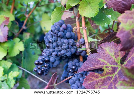 Close up vine grape in champagne vineyards at montagne de reims, Reims, France Royalty-Free Stock Photo #1924795745