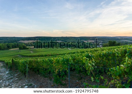Row vine grape in champagne vineyards at montagne de reims, Reims, France Royalty-Free Stock Photo #1924795748