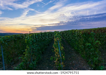 Row vine grape in champagne vineyards at montagne de reims, Reims, France Royalty-Free Stock Photo #1924795751