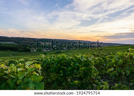 Row vine grape in champagne vineyards at montagne de reims, Reims, France Royalty-Free Stock Photo #1924795754