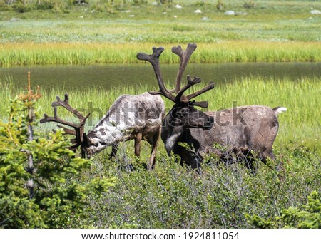 Two Wild Caribou Graze In the Grassy Hills of Jasper National Park. Canadian Rockies, Alberta, Canada Royalty-Free Stock Photo #1924811054