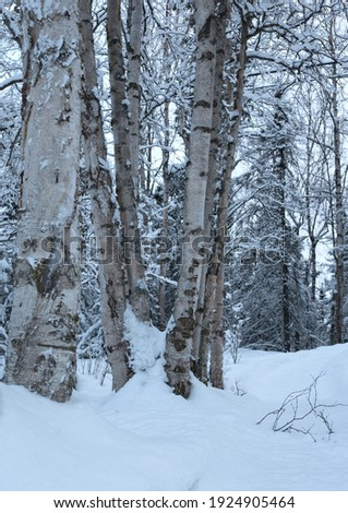 A view of a Quaking Aspen tree and branches covered in snow in winter against a background of other trees and wooded area; as seen in Anchorage, Alaska in the winter of 2020. Royalty-Free Stock Photo #1924905464