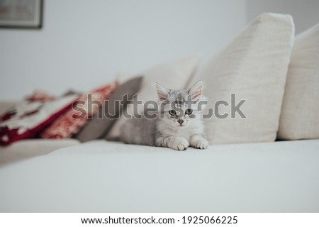 Persian chinchilla silver baby cat lying on the bed