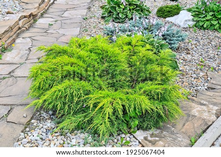 Juniper medium Gold Kissen - ornamental dwarf conifer for landscaping. Evergreen coniferous plant juniperus in stony garden on hill slope. Decorative dwarf conifer for landscape design Royalty-Free Stock Photo #1925067404