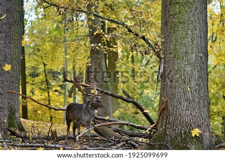 fallow deer, Dama dama, is a species of ruminant mammal  Royalty-Free Stock Photo #1925099699