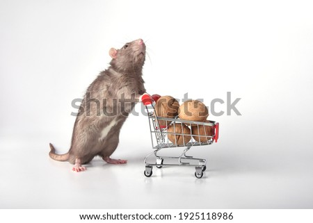 A wild breed rat rolls a supermarket cart with walnuts on a white background in the studio. Going to the supermarket for groceries