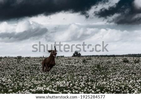 Hungarian vizsla runs across the field. Old black and white photo.