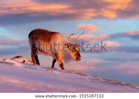 Caribou in snow. Wild Reindeer in snow, Svalbard, Norway. Deer on rocky mountain in snowy habitat. Wildlife scene from nature. Animal above the sea. Arctic ocean, winter condition. Royalty-Free Stock Photo #1925287133