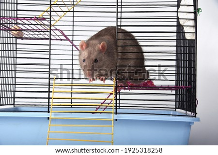 A wild breed rat prepared to escape looked out the window or door of a metal mesh cage