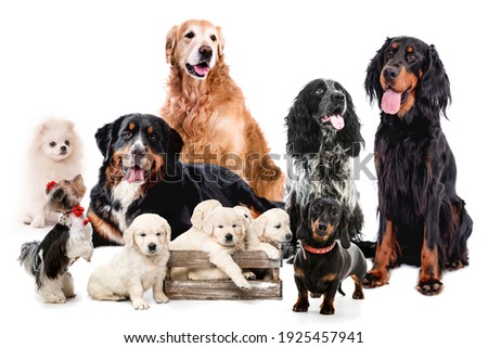 Collage with dogs sitting together isolated on white background. Golden retriever bernese scottish setter maltese doggy Royalty-Free Stock Photo #1925457941