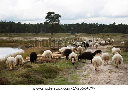 flock of sheep grazing for natural management of the nature reserve Royalty-Free Stock Photo #1925564999