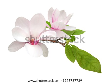 Magnolia branch flower isolated white