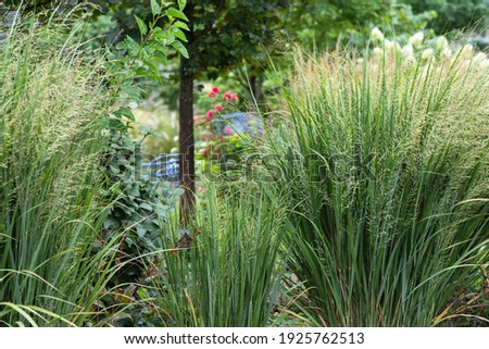 Northwind ornamental grasses, Pillars of olive blue-green blades provide strong vertical form - great as an accent or in a row for screening provide privacy in this suburban garden Royalty-Free Stock Photo #1925762513