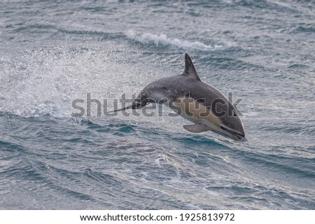 Short Beaked Common Dolphin in Australasian Waters Royalty-Free Stock Photo #1925813972