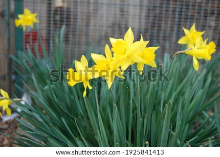 A close-up of some beautiful yellow flowers: the daffodils (narcissus jonquilla), which grow spontaneously in Emilia Romagna (Italy). We are still in February and the daffodils have already bloomed. Royalty-Free Stock Photo #1925841413