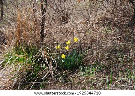 In Emilia Romagna (Italy) in the middle of a field, between trees and shrubs, at the end of winter spontaneously grow these beautiful yellow flowers: the daffodils (narcissus jonquilla) Royalty-Free Stock Photo #1925844710