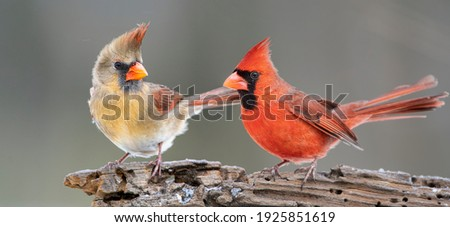 Northern Cardinal Pair Perched on Driftwood Royalty-Free Stock Photo #1925851619